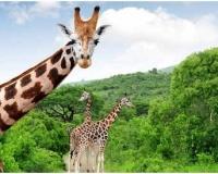 african-giraffe