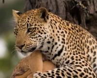 african-leopard