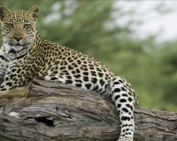 african-leopard2