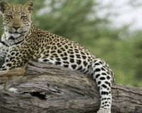 african-leopard5