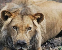 african-lion2