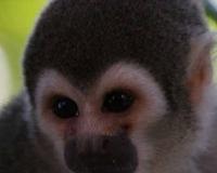 african-monkey