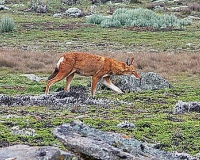 endangered-endemic-ethiopian-wolf-w800-h533