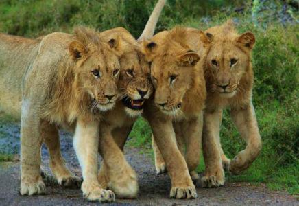 lions in Akagera National Park, Rwanda
